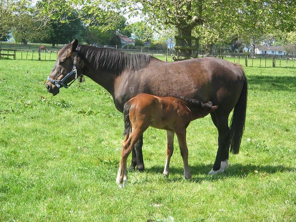 Cómo es la reproducción de un caballo? 🐴 Descúbrelo!