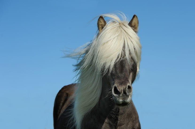 caballo adulto