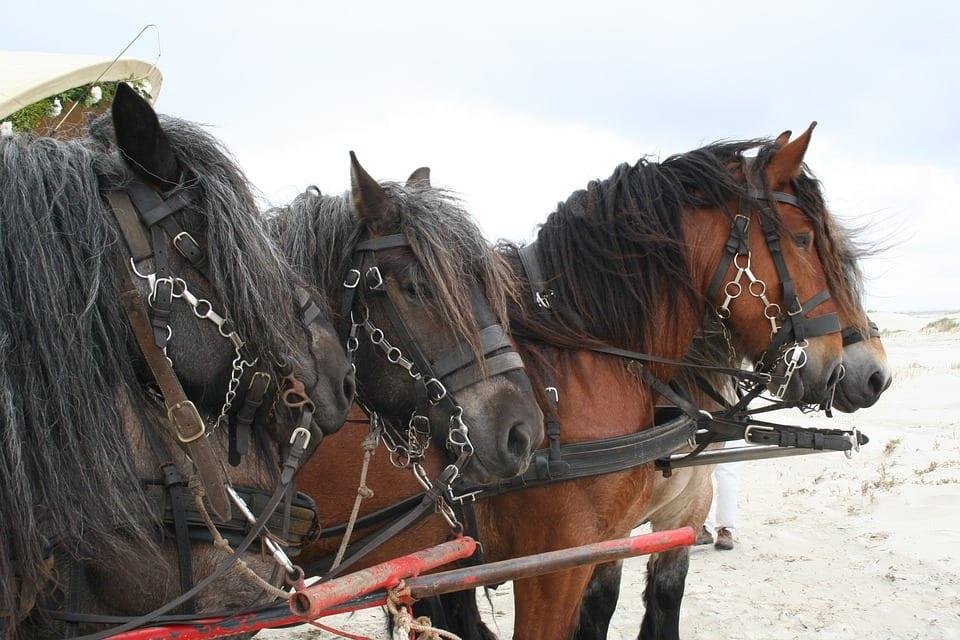 Crin brillante de caballos