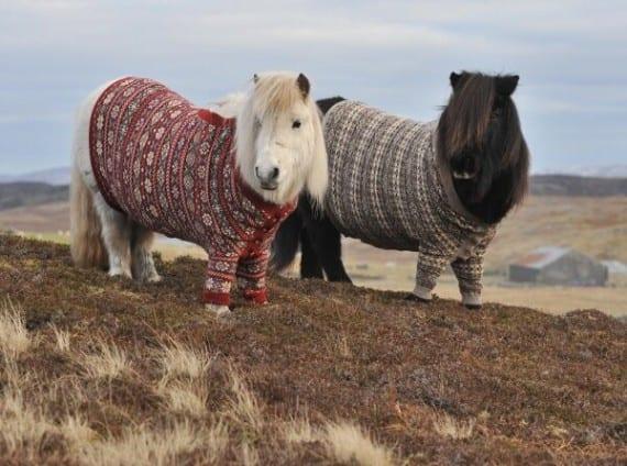 Poni de las Shetland
