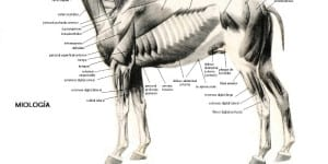 Anatomía equina