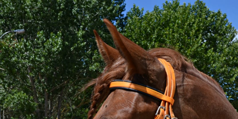 Orejas de caballo