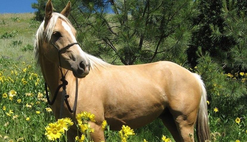 años caballo