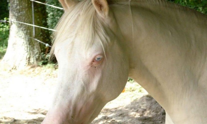 Caballo-Albino