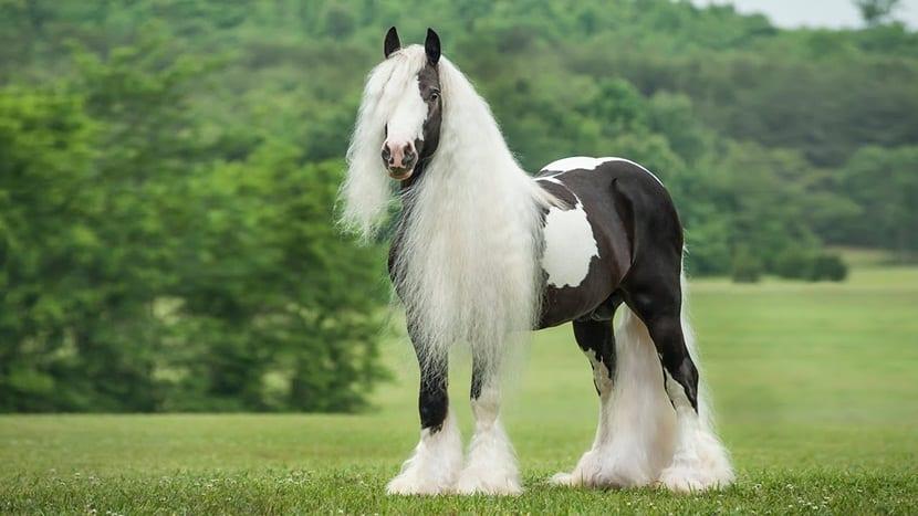 Gipsy Vanner, el caballo más dócil para los niños