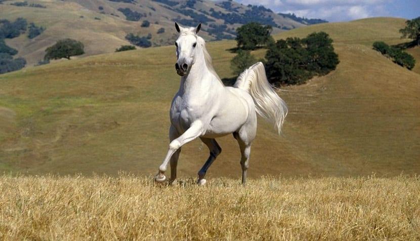 cojera caballo
