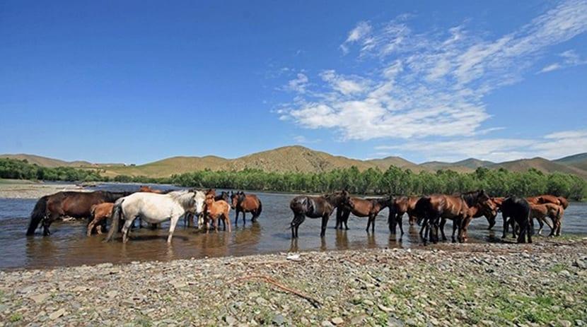 caballo mongol extincion