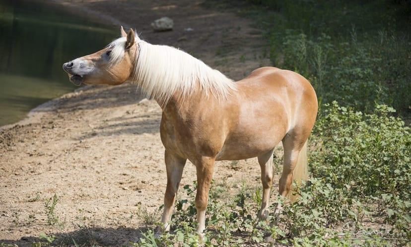 caballo domestico