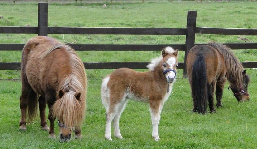 caballos-falabella