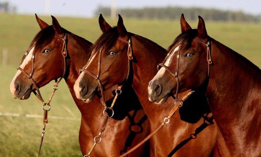 compra caballos
