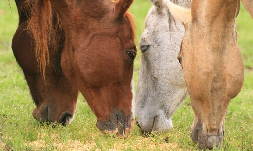 caballos alimentándose