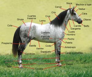Nombres de las partes del cuerpo de un caballo