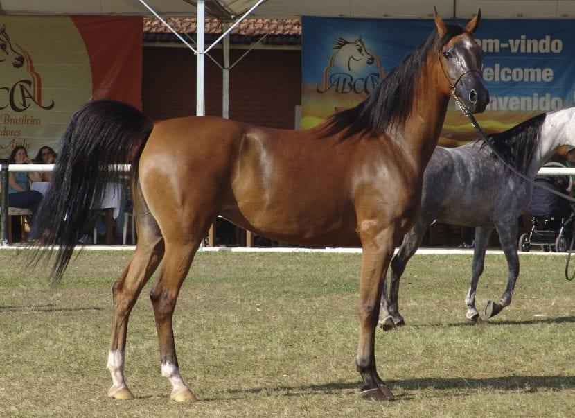 Caballo árabe color alazán