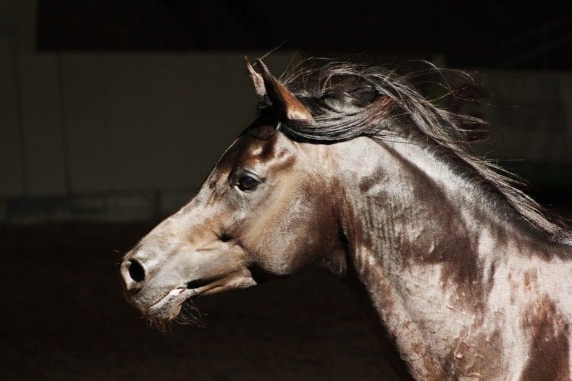 Cabeza del caballo árabe