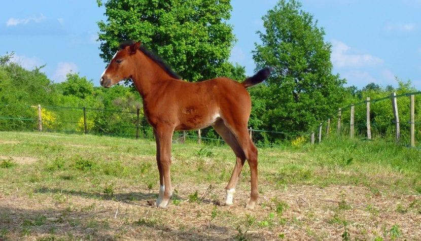 Potro de caballo árabe