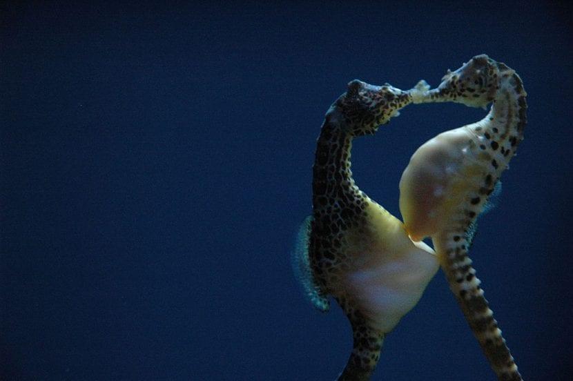 Apareamiento de Hippocampus abdominalis