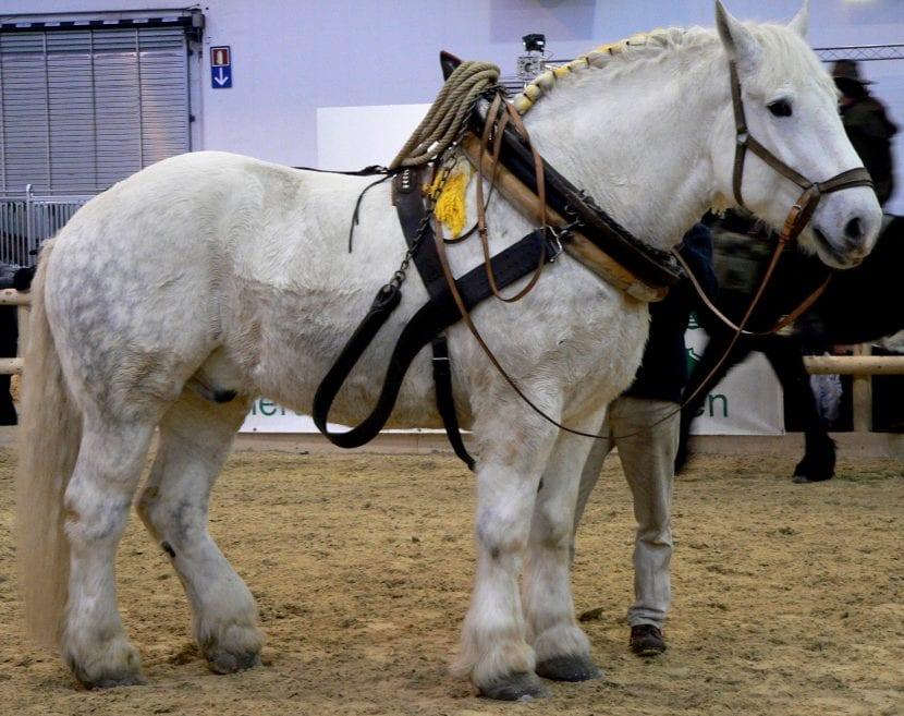 Ejemplar de caballo percherón