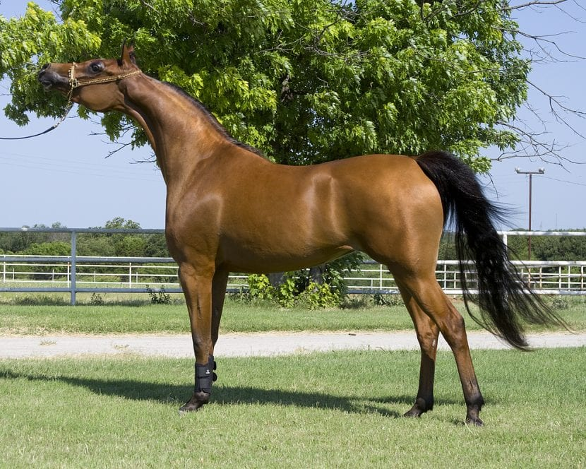 Ejemplar de caballo árabe adulto