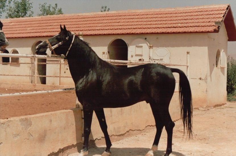 Ejemplar de caballo árabe Kuhaylan