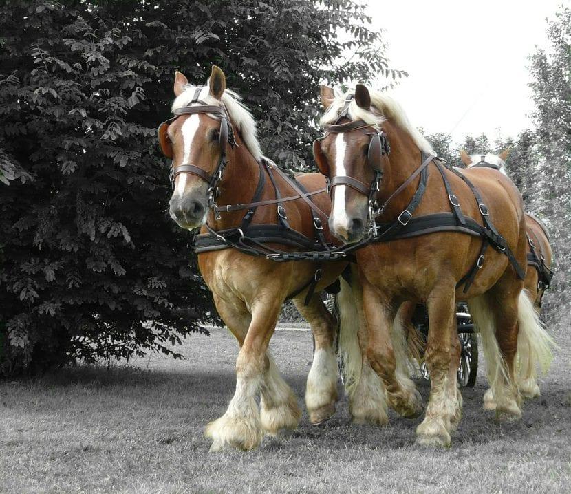 Dos caballos de tiro pesado