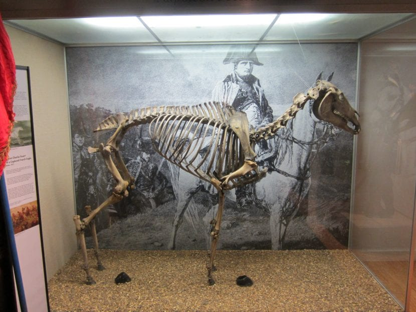 El esqueleto del caballo Marengo, el caballo de Napoleón