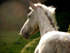 Ejemplar de caballo blanco