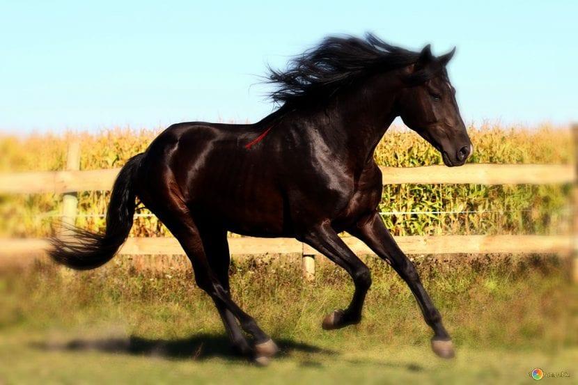 Ejemplar de caballo de color marrón