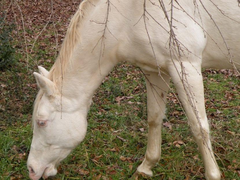 El caballo albino debe de comer comida lo más natural posible para estar sano