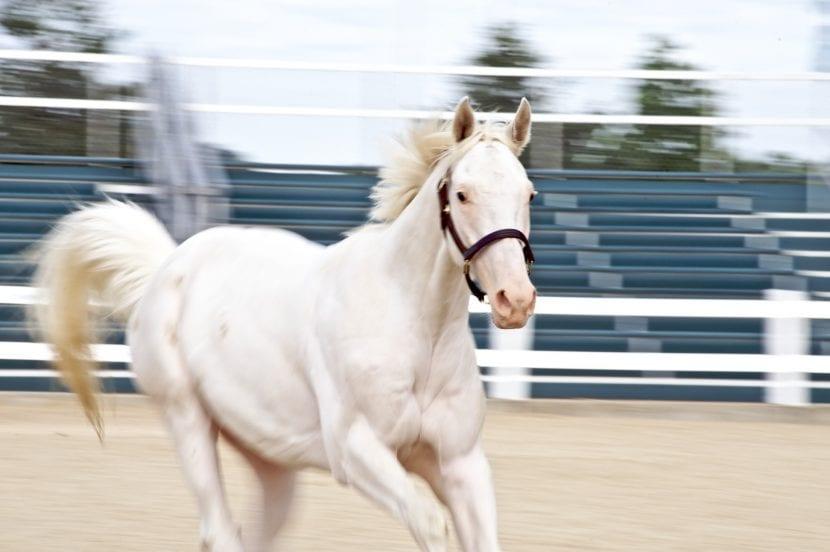 El caballo albino necesita hacer ejercicio como cualquier otro