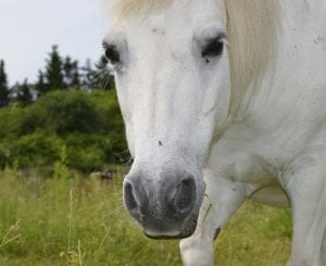 Un hermoso ejemplar de caballo blanco