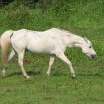 Caballo blanco adulto caminando