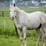 Un caballo blanco en el campo