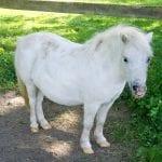 Un caballo blanco pequeño