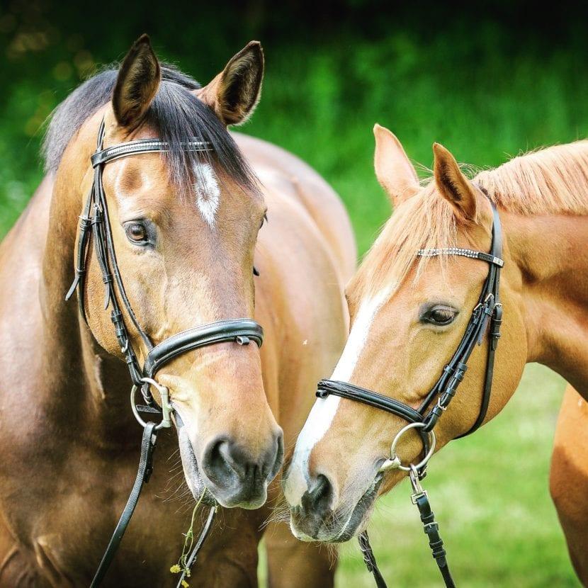 Para que un caballo sea feliz es necesario quitarle las garrapatas