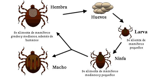 Ciclo biológico de una garrapata