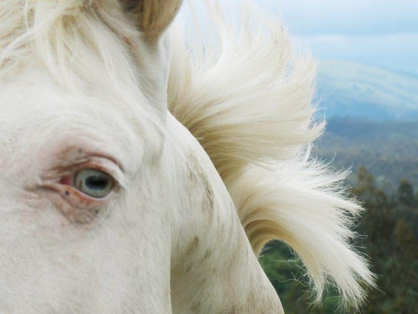 La mirada del caballo albino es muy especial