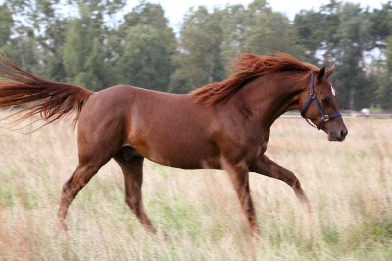 Caballo Red Chestnut