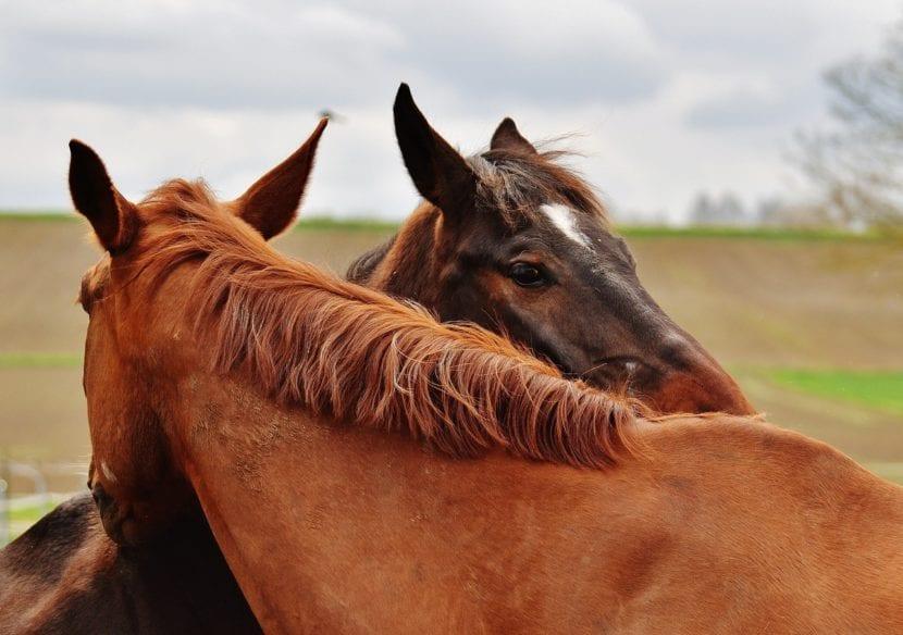 Dos caballos alazán juntos