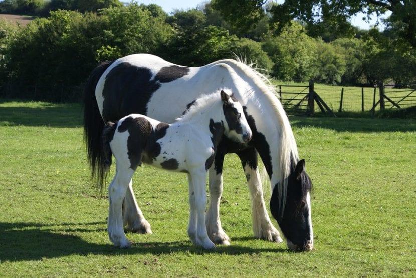 gitano gypsy vanner caballo