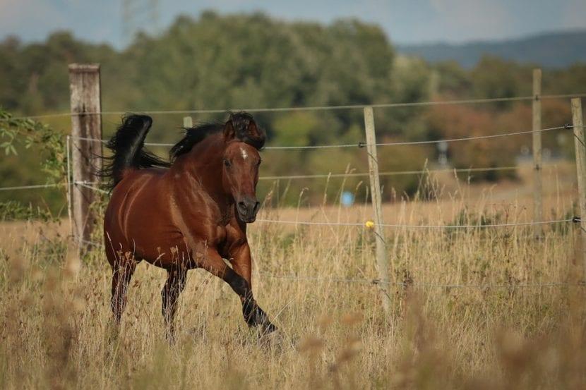 Árabe caballo