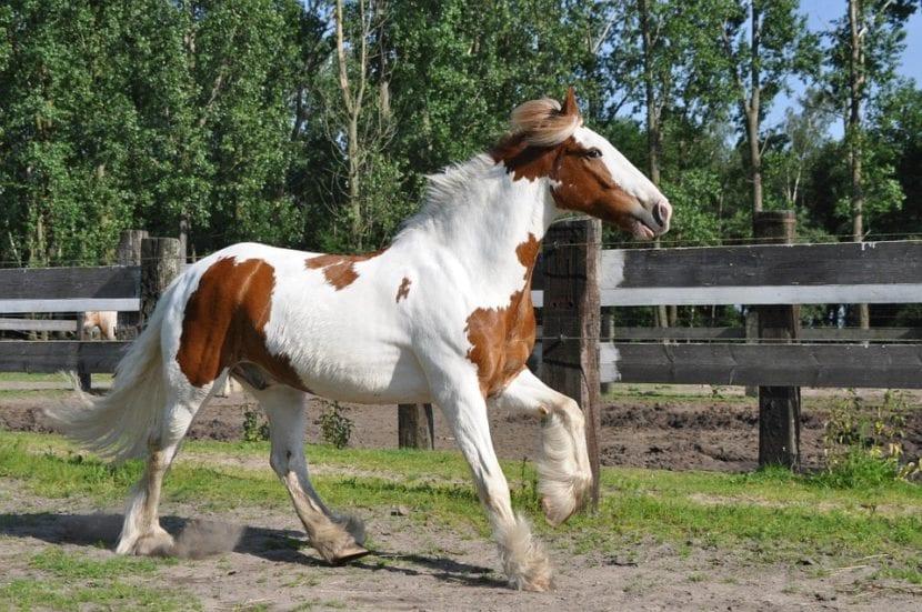 Irish cob uno de los caballos más bonitos del mundo