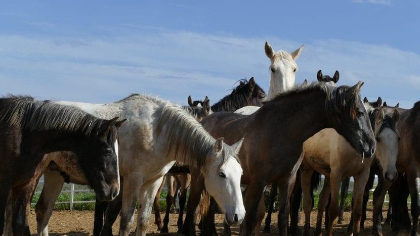 caballos americanos