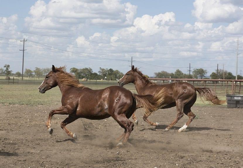carrera de quarter horse