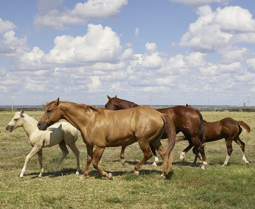 varios caballos Cuartos de Milla