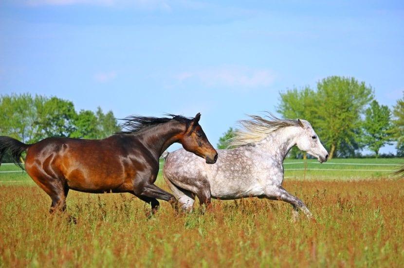 Caballo Zaino Colorado requemado y caballo albinoide