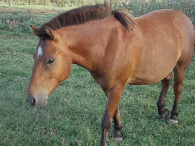 caballo criollo