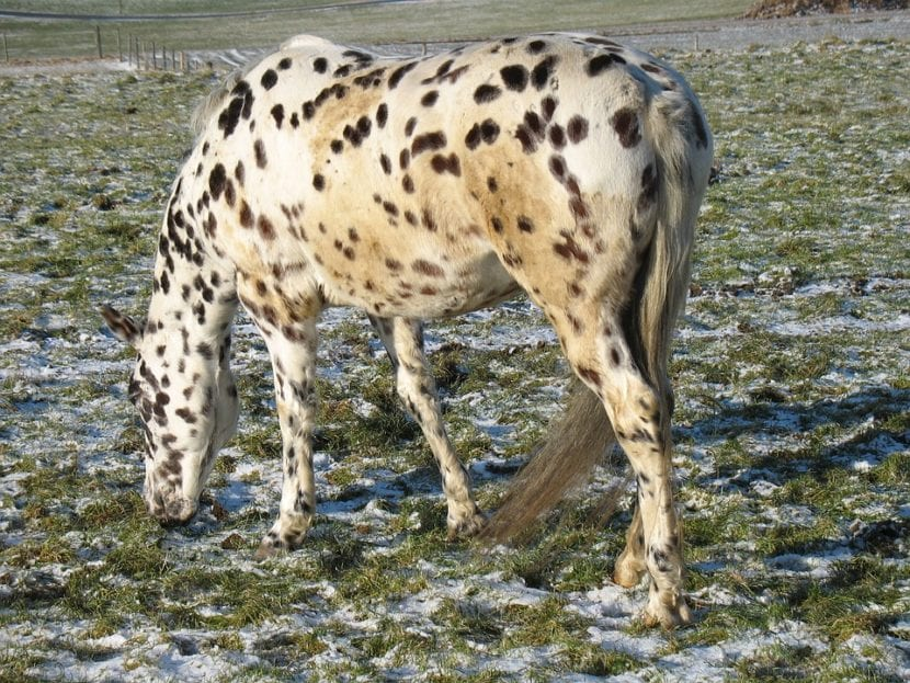 Appaloosa leopardo