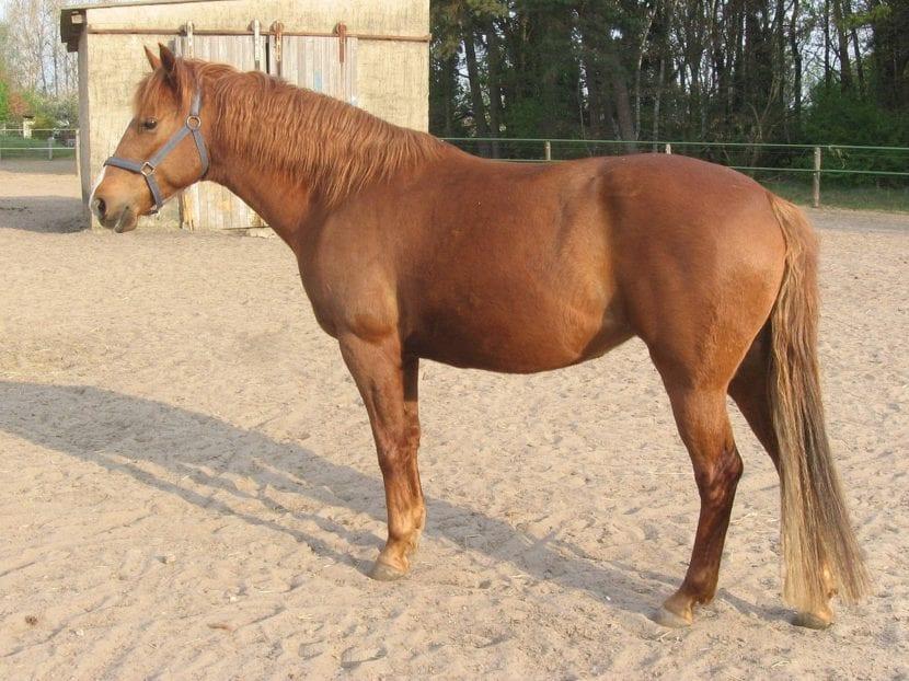 caballo bereber en terreno de arena