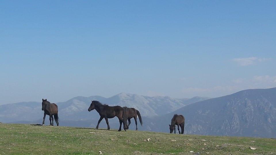 caballo asturcón