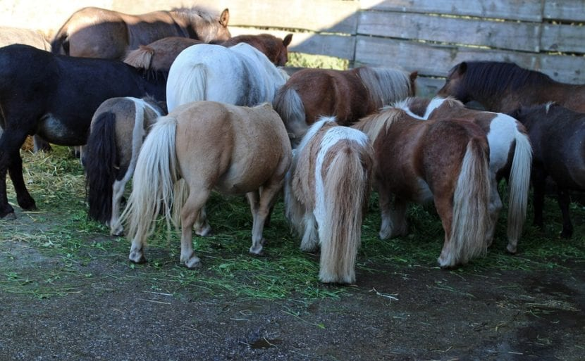 caballos comiendo